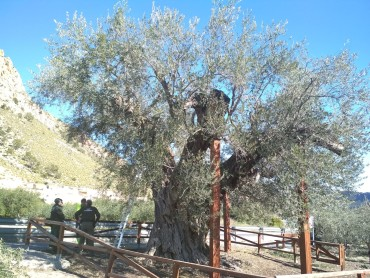 La olivera gorda